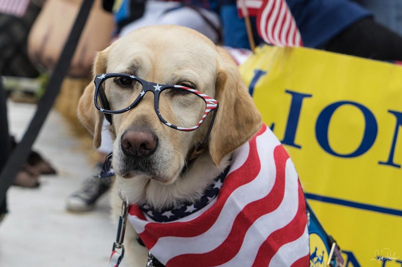 4th of july parade assistance dog wearing glasses